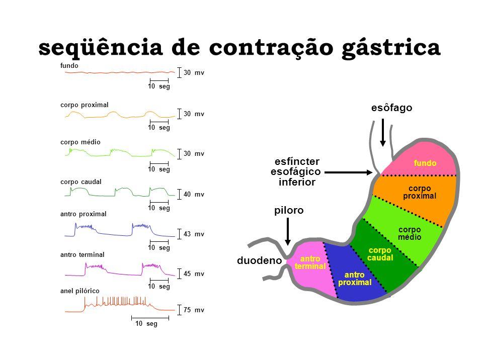 seqüência de contração gástrica antro terminal 45 mv 10 seg antro terminal anel pilórico 75 mv 10 seg antro proximal 43 mv 10 seg antro proximal corpo