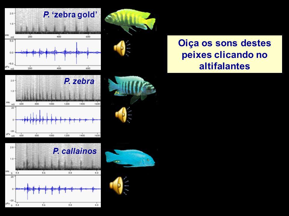 P. zebra P. zebra gold P. callainos Oiça os sons destes peixes clicando no altifalantes