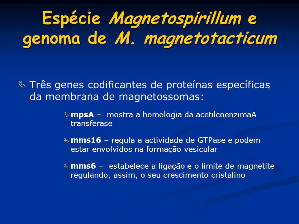 Microscopia electrónica de M. gryphiswaldense, de culturas crescidas num estado de oxidação e tensões de pO2 definidas de 0.25 mbar (a),10 mbar (b), e