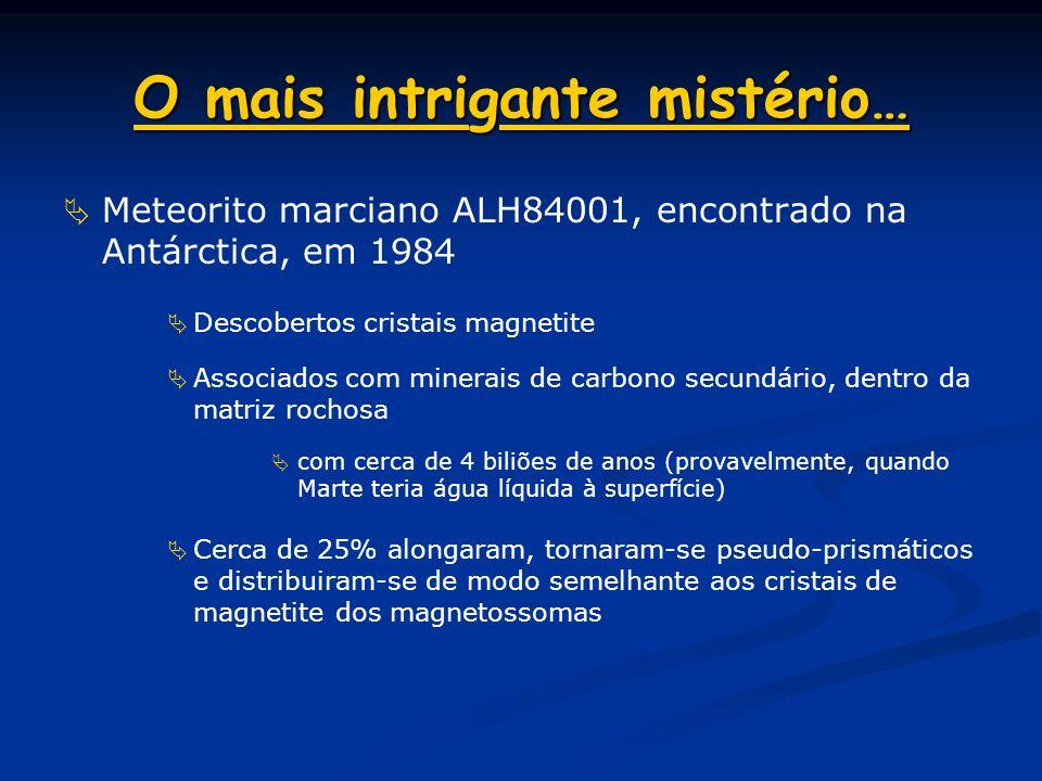 Espécie Magnetospirillum Os genes da membrana de magnetossomas (mam) são usados: Na biomineralização da magnetite Na atracção de mc-1 (magnetossomas e
