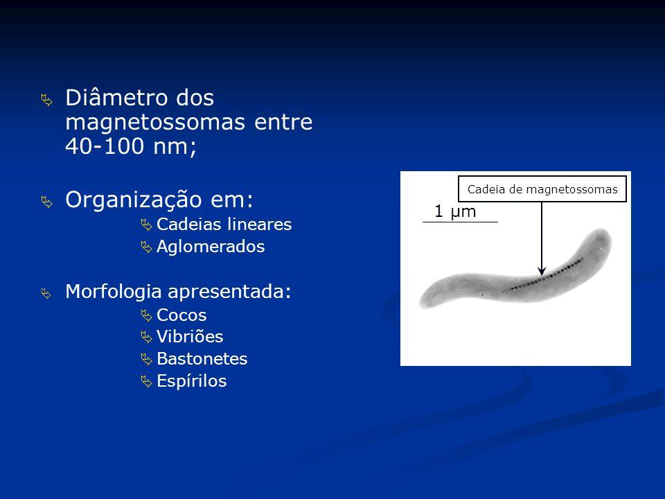 Diâmetro dos magnetossomas entre 40-100 nm; Organização em: Cadeias lineares Aglomerados Morfologia apresentada: Cocos Vibriões Bastonetes Espírilos 1 µm Cadeia de magnetossomas