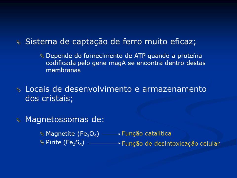 Sistema de captação de ferro muito eficaz; Depende do fornecimento de ATP quando a proteína codificada pelo gene magA se encontra dentro destas membranas Locais de desenvolvimento e armazenamento dos cristais; Magnetossomas de: Magnetite (Fe 3 O 4 ) Pirite (Fe 3 S 4 ) Função catalítica Função de desintoxicação celular