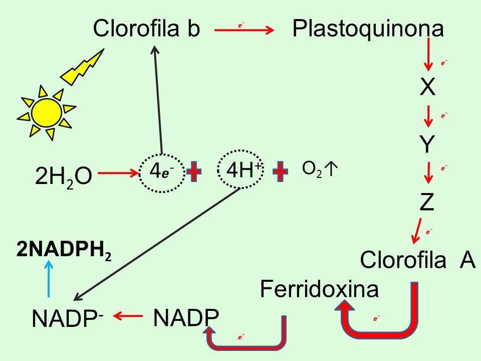 Clorofila b Plastoquinona X Y Z Clorofila A Ferridoxina NADP e-e- e-e- e-e- e-e- e-e- e-e- e-e- NADP - 4 e - 2H 2 O 4H + O 2 2NADPH 2