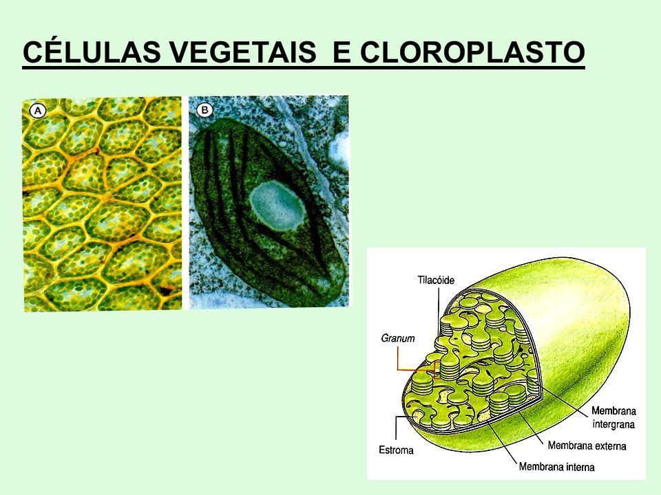 CÉLULAS VEGETAIS E CLOROPLASTO