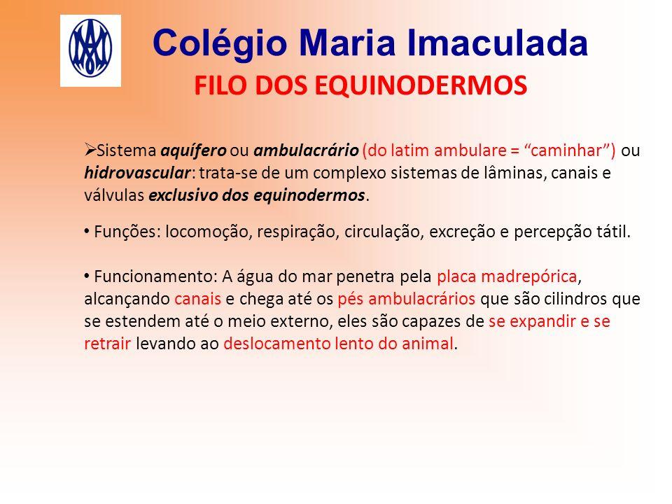 Colégio Maria Imaculada FILO DOS EQUINODERMOS Sistema aquífero ou ambulacrário (do latim ambulare = caminhar) ou hidrovascular: trata-se de um complex