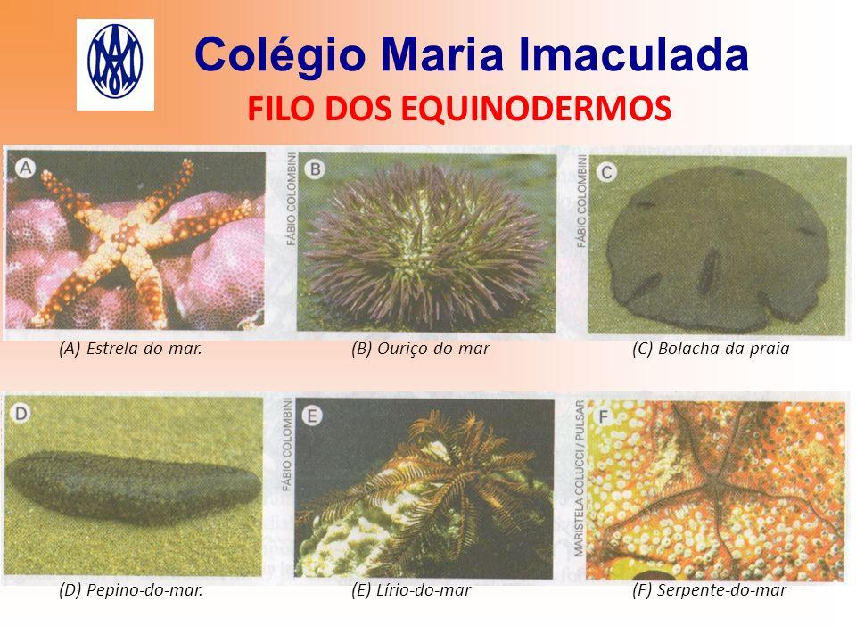Colégio Maria Imaculada FILO DOS EQUINODERMOS (A) Estrela-do-mar. (B) Ouriço-do-mar (C) Bolacha-da-praia (D) Pepino-do-mar. (E) Lírio-do-mar (F) Serpe