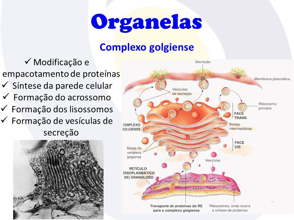 Complexo golgiense Organelas Modificação e empacotamento de proteínas Síntese da parede celular Formação do acrossomo Formação dos lisossomos Formação