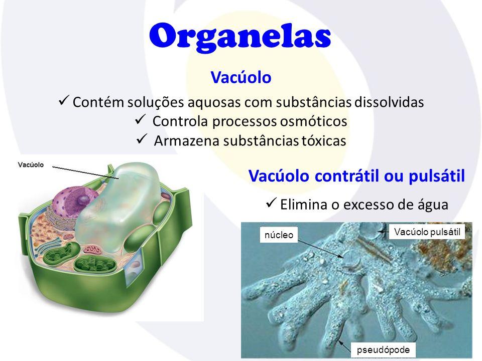 Vacúolo Organelas Contém soluções aquosas com substâncias dissolvidas Controla processos osmóticos Armazena substâncias tóxicas Vacúolo contrátil ou p