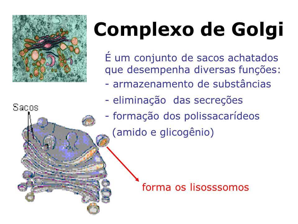 Complexo de Golgi É um conjunto de sacos achatados que desempenha diversas funções: - armazenamento de substâncias - eliminação das secreções - formação dos polissacarídeos (amido e glicogênio) forma os lisosssomos