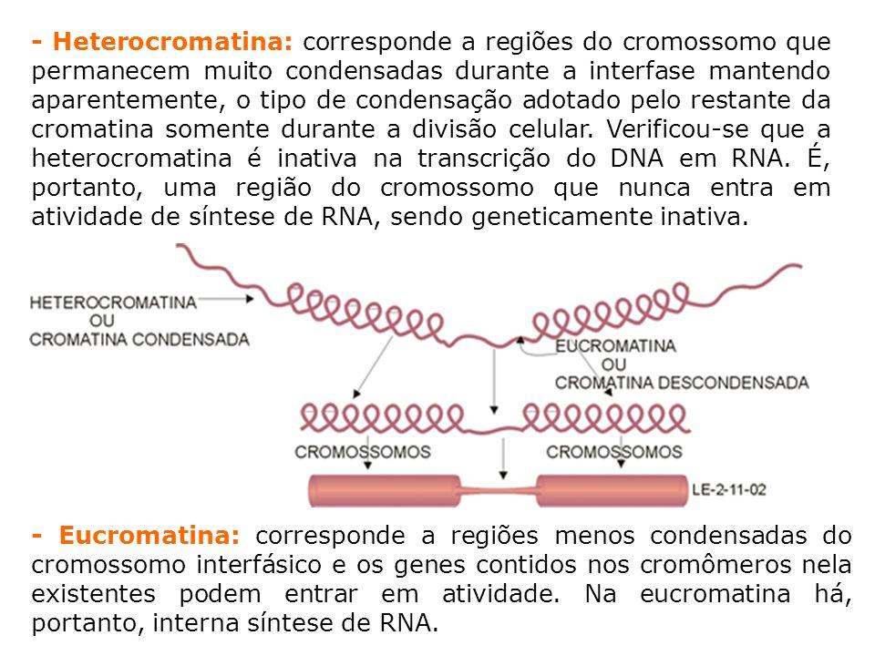 - Heterocromatina: corresponde a regiões do cromossomo que permanecem muito condensadas durante a interfase mantendo aparentemente, o tipo de condensação adotado pelo restante da cromatina somente durante a divisão celular.
