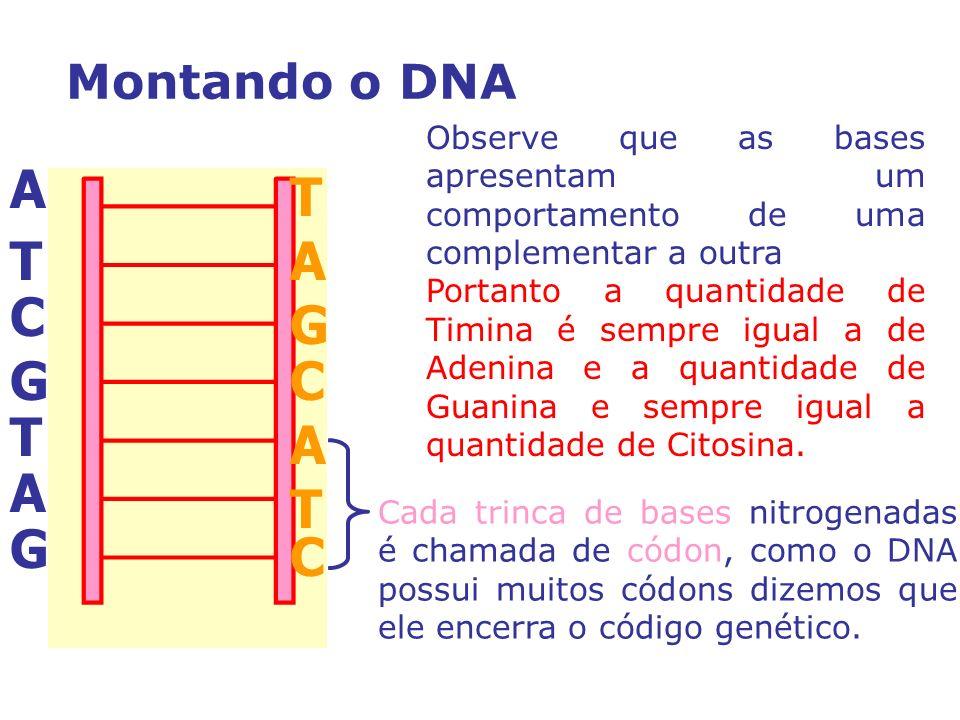 Observe que as bases apresentam um comportamento de uma complementar a outra Portanto a quantidade de Timina é sempre igual a de Adenina e a quantidade de Guanina e sempre igual a quantidade de Citosina.