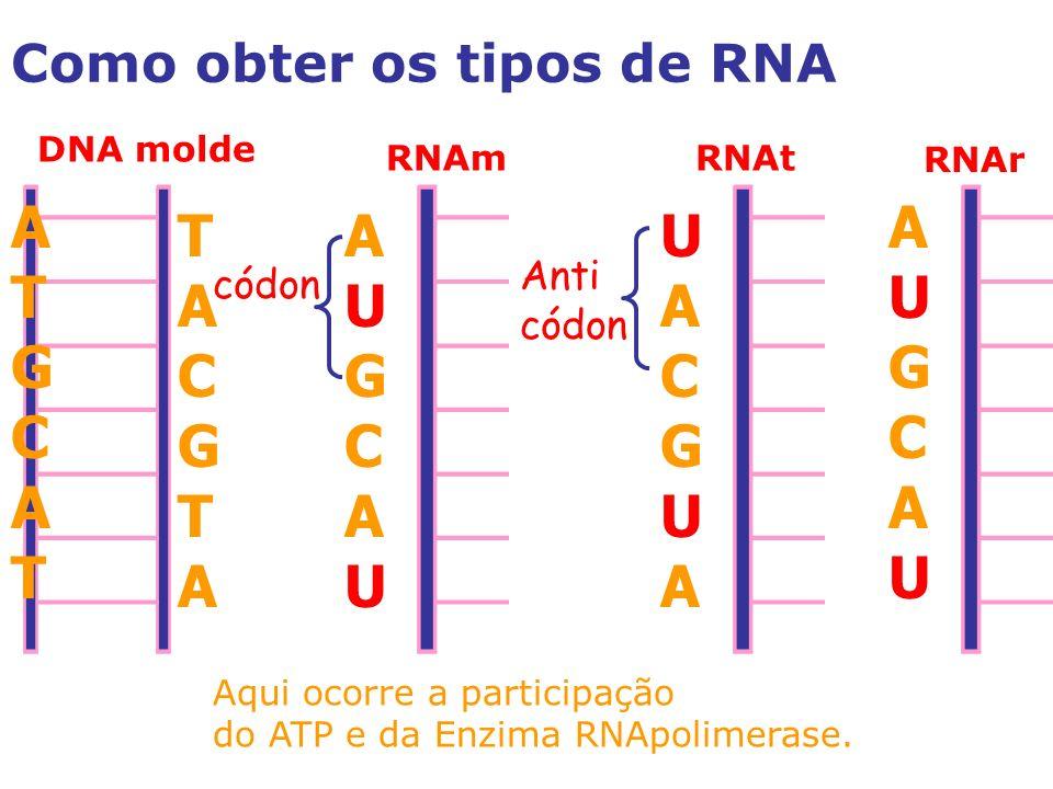 Como obter os tipos de RNA DNA molde RNAmRNAt RNAr T A C G T A A U G C A U U A C G U A A U G C A U A T G C A T Anti códon Aqui ocorre a participação do ATP e da Enzima RNApolimerase.