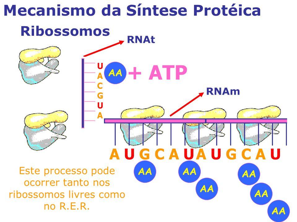Mecanismo da Síntese Protéica Ribossomos A U G C A U RNAm A U G C A U UACGUAUACGUA RNAt AA + ATP Este processo pode ocorrer tanto nos ribossomos livres como no R.E.R.