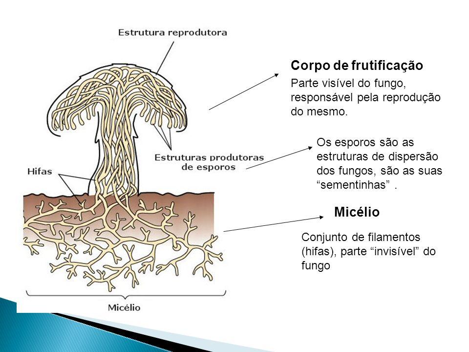 São constituídas fundamentalmente por elementos multicelulares em forma de tuboas hifas. Tipos de Hifas: