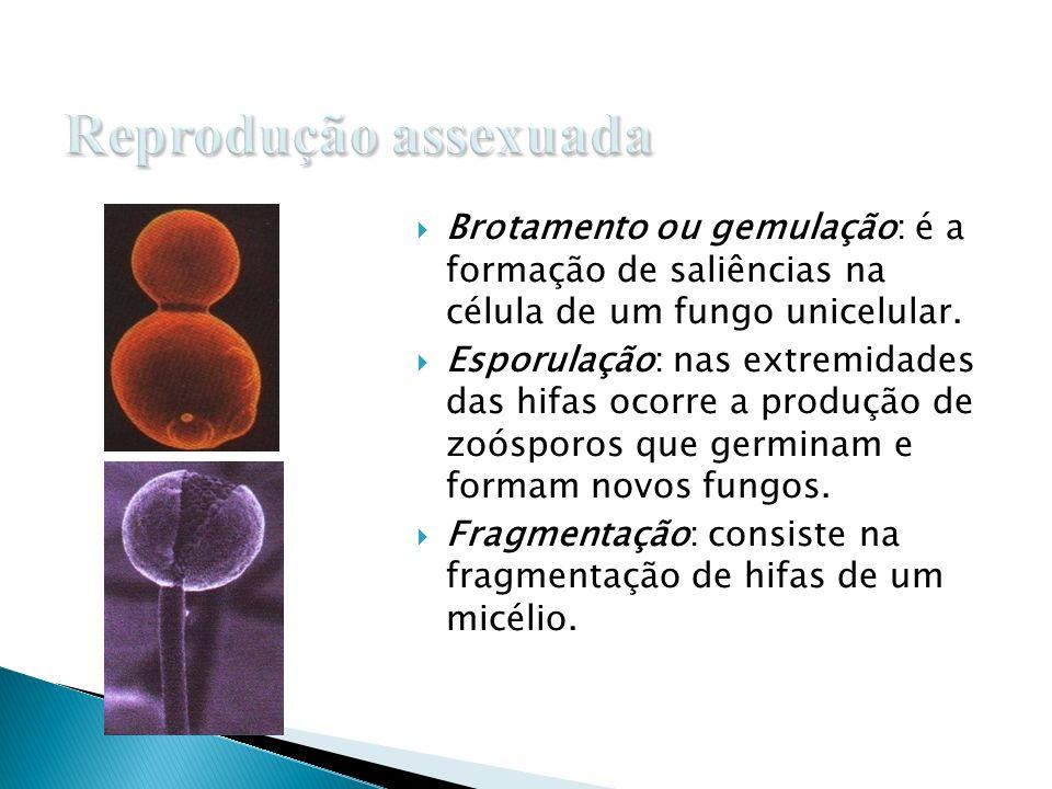 COLONIA DE FUNGOS GÊNERO Penicilum