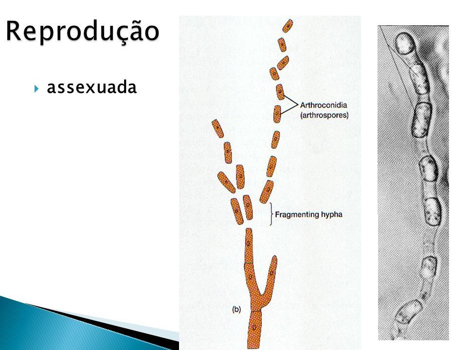 A reprodução sexuada resulta, frequentemente, da fusão de duas hifas haploides. Se os núcleos se fundirem forma-se um núcleo zigótico diplóide que sof