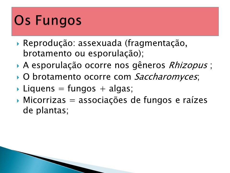 Cogumelos, orelha-de-pau, leveduras e vários tipos de bolores; Eucariontes; Heterótrofos por absorção; Aclorofilados (não fazem fotossíntese); Uni ou