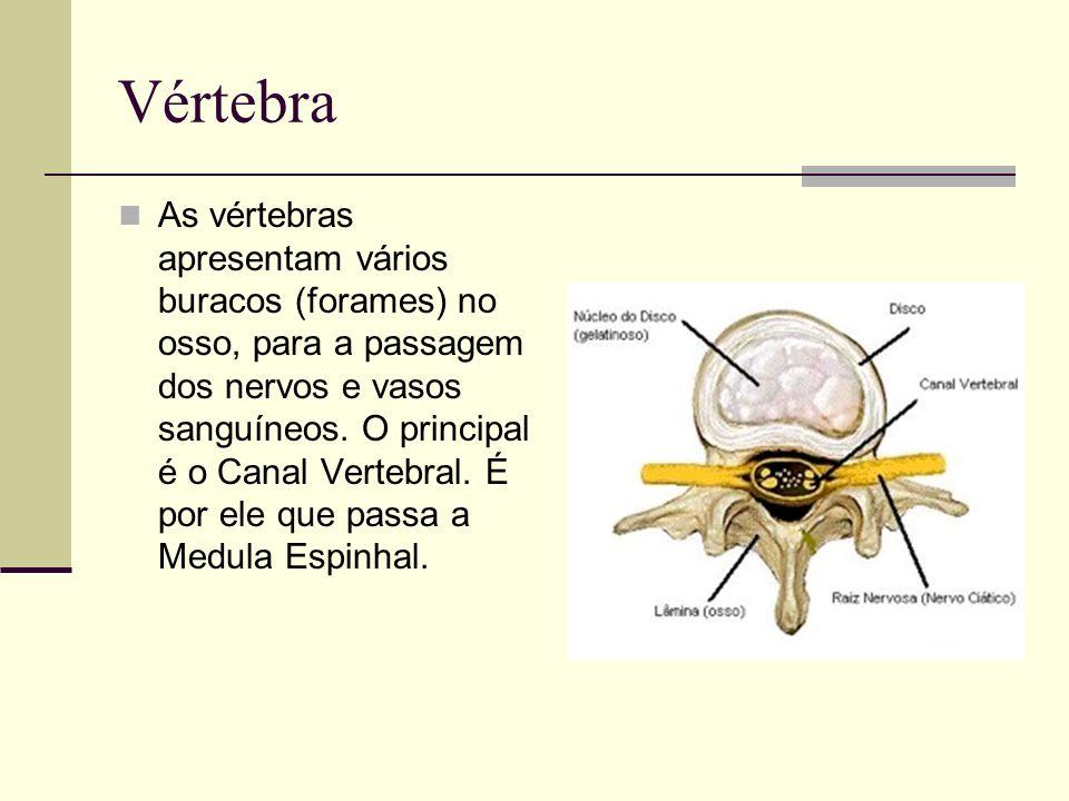 Vértebra As vértebras apresentam vários buracos (forames) no osso, para a passagem dos nervos e vasos sanguíneos. O principal é o Canal Vertebral. É p