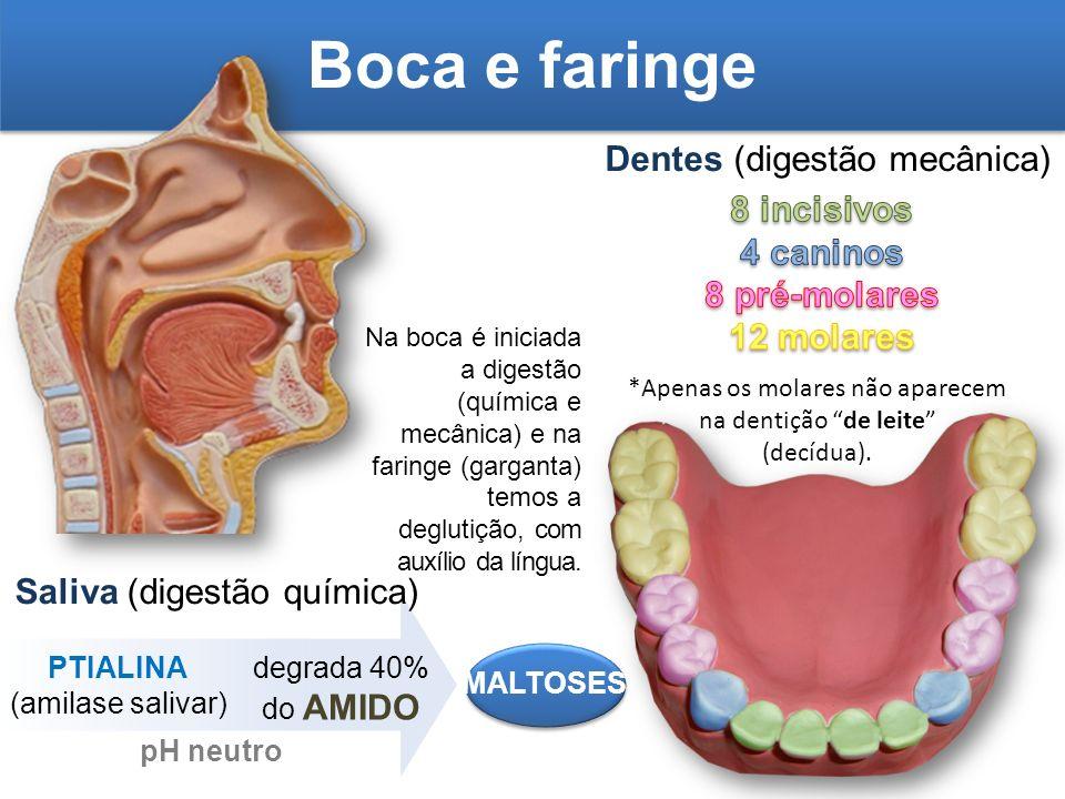 Boca e faringe Dentes (digestão mecânica) Saliva (digestão química) *Apenas os molares não aparecem na dentição de leite (decídua). PTIALINA (amilase