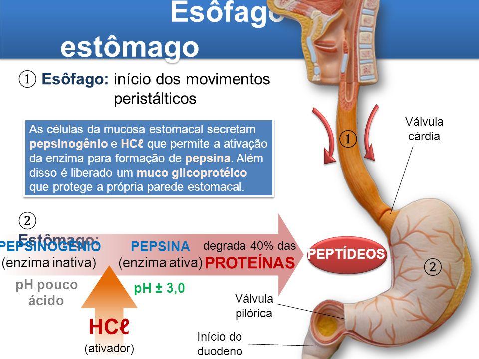 Esôfago e estômago Esôfago:início dos movimentos peristálticos Estômago: PEPSINOGÊNIO (enzima inativa) degrada 40% das PROTEÍNAS pH pouco ácido HC (at
