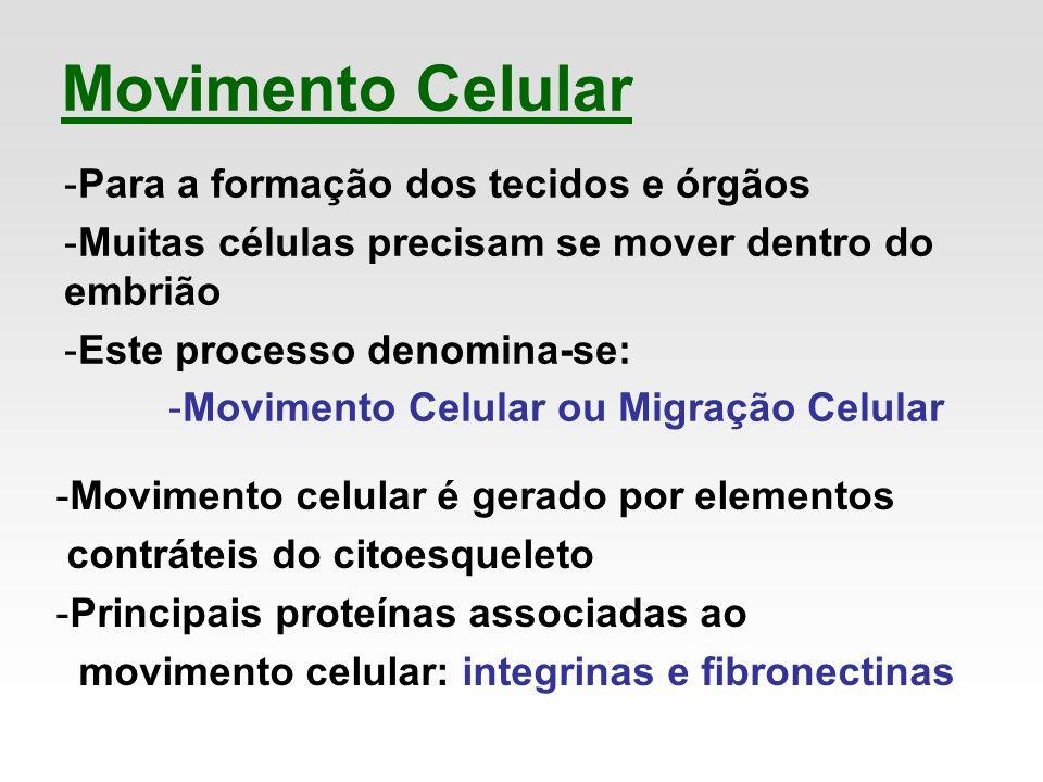 Movimento Celular -Para a formação dos tecidos e órgãos -Muitas células precisam se mover dentro do embrião -Este processo denomina-se: -Movimento Cel