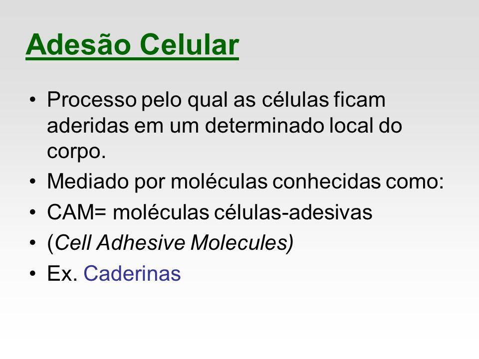 Processo pelo qual as células ficam aderidas em um determinado local do corpo. Mediado por moléculas conhecidas como: CAM= moléculas células-adesivas