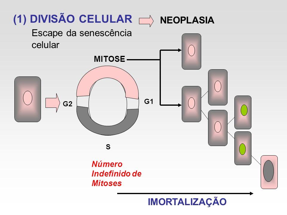 (1) DIVISÃO CELULAR Escape da senescência celular G2 G1 S Número Indefinido de Mitoses MITOSE NEOPLASIA IMORTALIZAÇÃO
