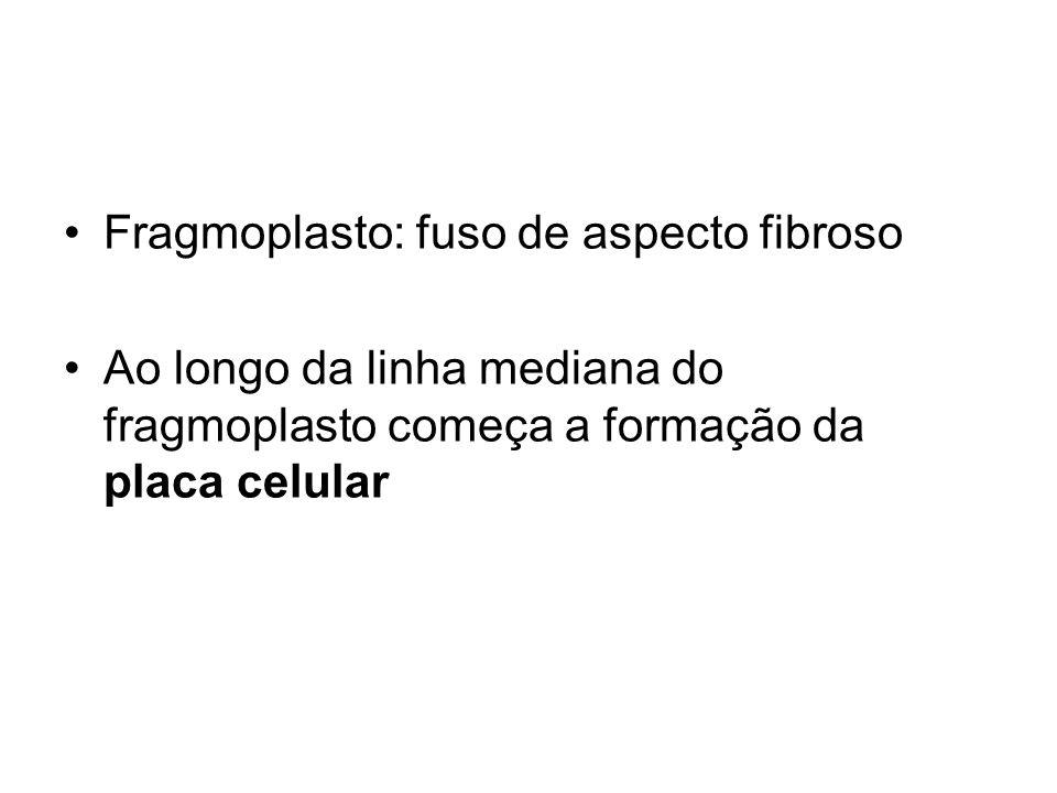 Fragmoplasto: fuso de aspecto fibroso Ao longo da linha mediana do fragmoplasto começa a formação da placa celular
