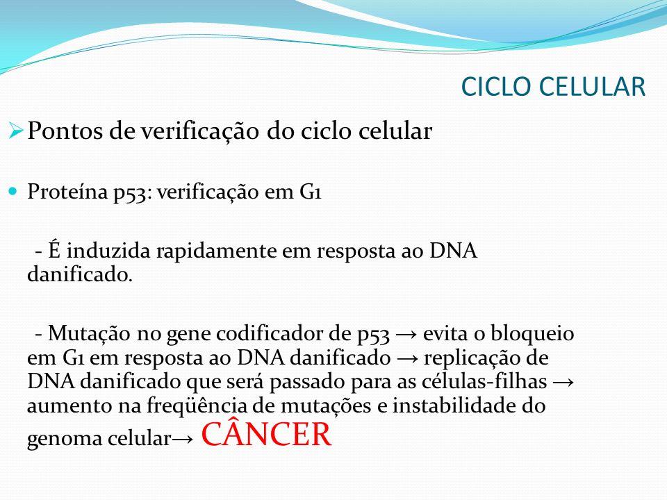 Pontos de verificação do ciclo celular Proteína p53: verificação em G1 - É induzida rapidamente em resposta ao DNA danificado. - Mutação no gene codif