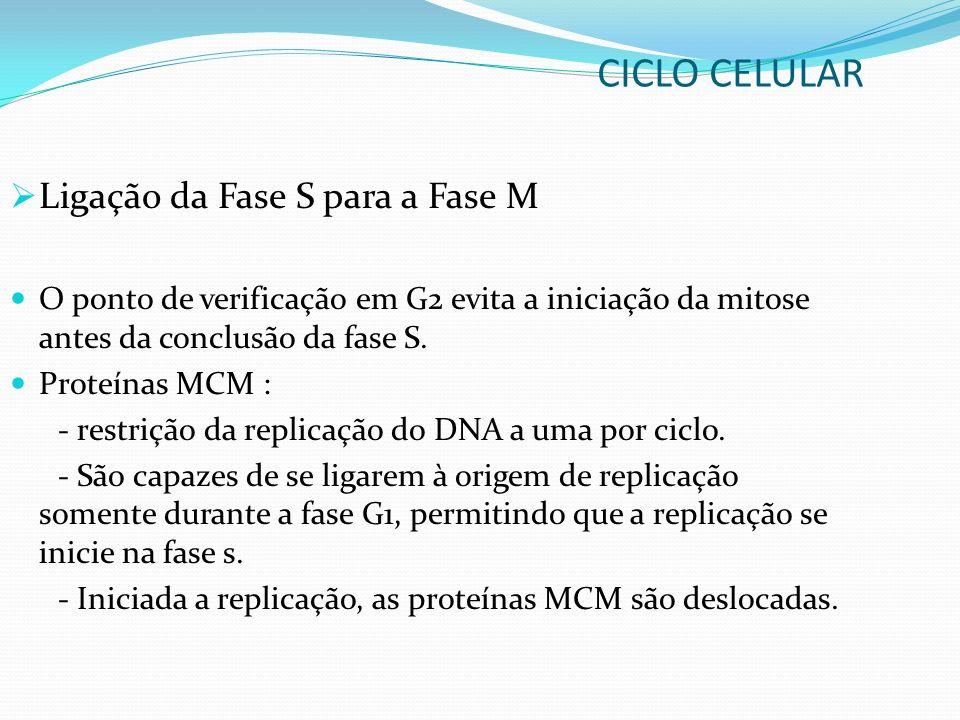 Ligação da Fase S para a Fase M O ponto de verificação em G2 evita a iniciação da mitose antes da conclusão da fase S. Proteínas MCM : - restrição da