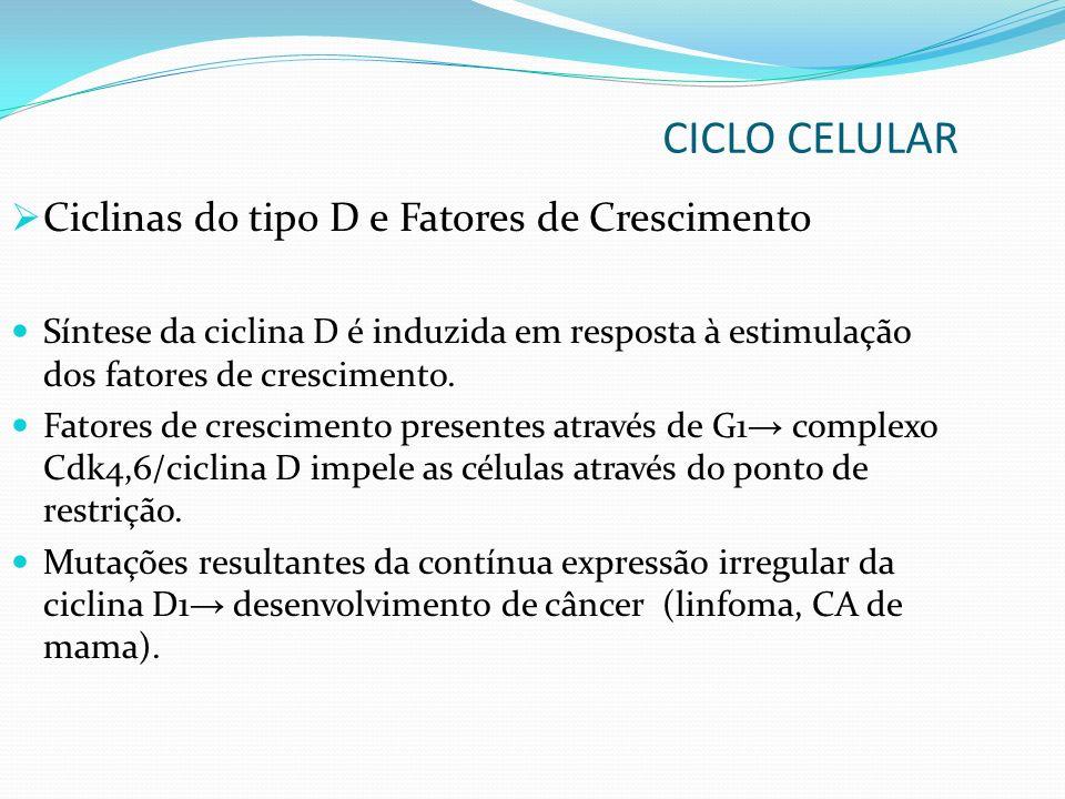 CICLO CELULAR Ciclinas do tipo D e Fatores de Crescimento Síntese da ciclina D é induzida em resposta à estimulação dos fatores de crescimento. Fatore