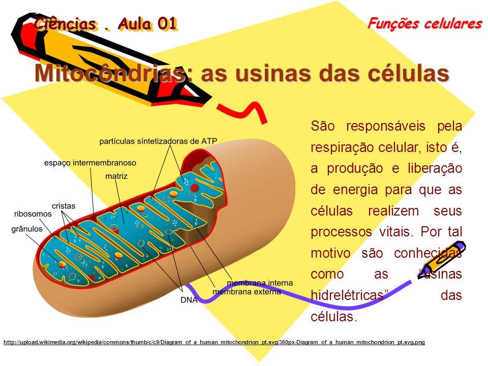 Ciências. Aula 01 Funções celulares Mitocôndrias: as usinas das células São responsáveis pela respiração celular, isto é, a produção e liberação de en