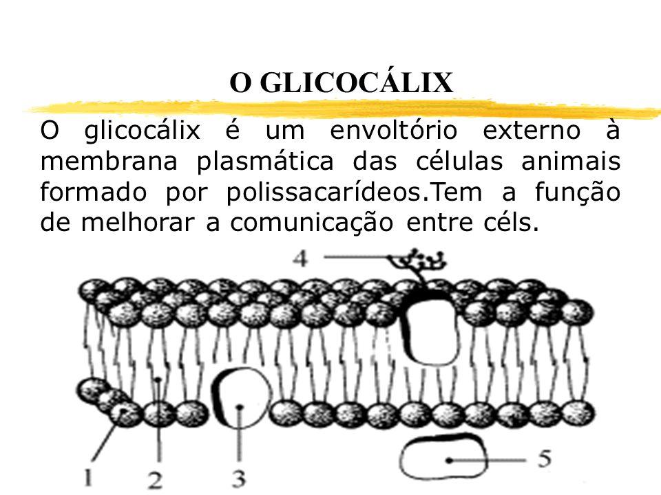 O GLICOCÁLIX O glicocálix é um envoltório externo à membrana plasmática das células animais formado por polissacarídeos.Tem a função de melhorar a com