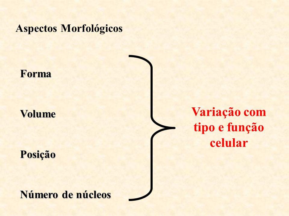 FormaVolumePosição Número de núcleos Variação com tipo e função celular Aspectos Morfológicos