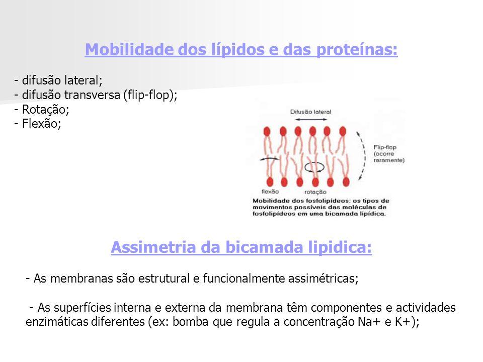 Assimetria da bicamada lipidica: - As membranas são estrutural e funcionalmente assimétricas; - As superfícies interna e externa da membrana têm componentes e actividades enzimáticas diferentes (ex: bomba que regula a concentração Na+ e K+); Mobilidade dos lípidos e das proteínas: - difusão lateral; - difusão transversa (flip-flop); - Rotação; - Flexão;