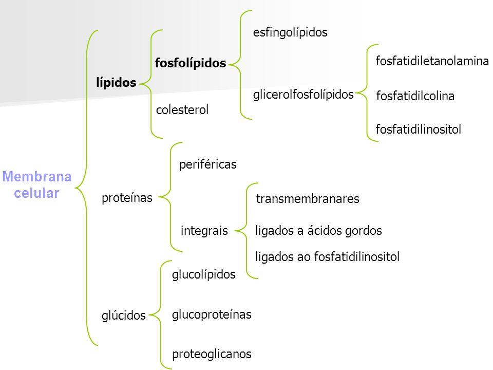 Membrana celular lípidos proteínas glúcidos glucolípidos glucoproteínas proteoglicanos integrais periféricas transmembranares ligados a ácidos gordos ligados ao fosfatidilinositol fosfolípidos fosfatidilserina fosfatidiletanolamina fosfatidilcolina fosfatidilinositol glicerolfosfolípidos esfingolípidos colesterol