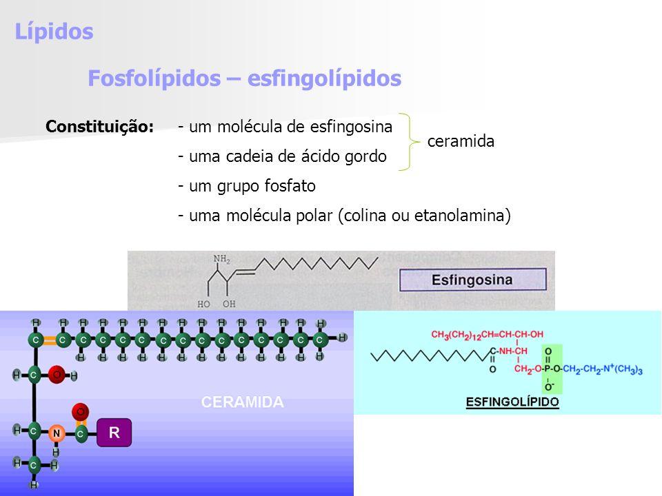 Lípidos Fosfolípidos – esfingolípidos Constituição:- um molécula de esfingosina - uma cadeia de ácido gordo - um grupo fosfato - uma molécula polar (colina ou etanolamina) ceramida