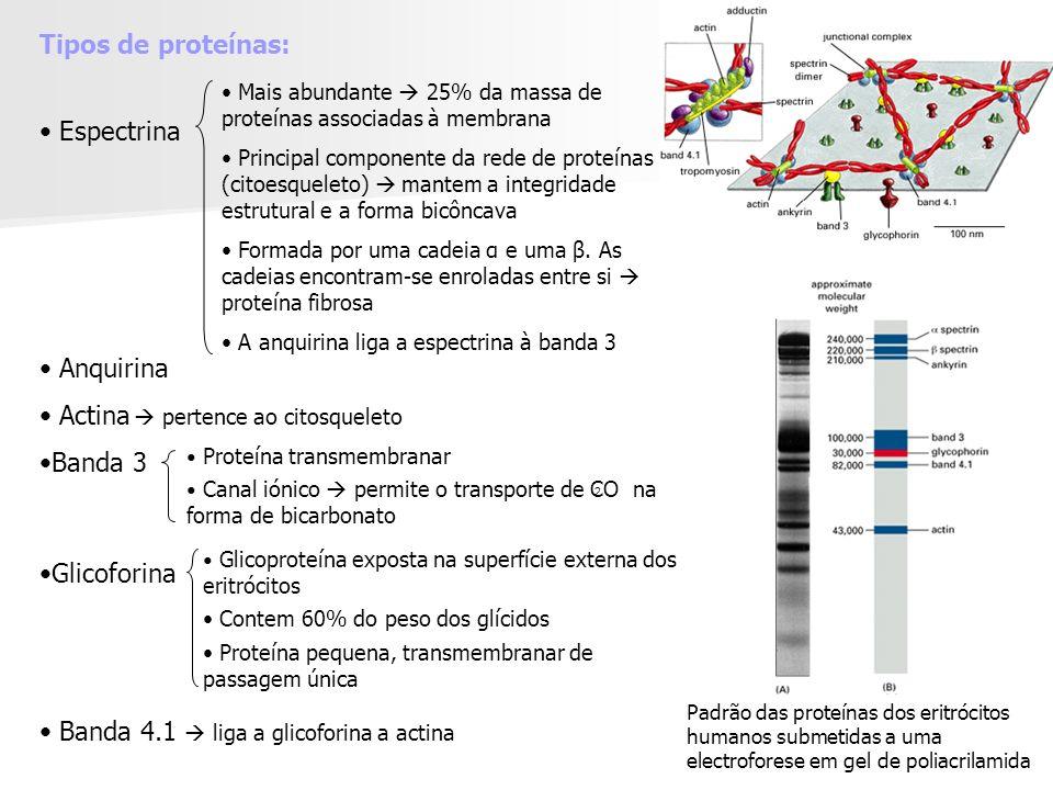 Padrão das proteínas dos eritrócitos humanos submetidas a uma electroforese em gel de poliacrilamida Tipos de proteínas: Espectrina Anquirina Actina Banda 3 Glicoforina Banda 4.1 Mais abundante 25% da massa de proteínas associadas à membrana Principal componente da rede de proteínas (citoesqueleto) mantem a integridade estrutural e a forma bicôncava Formada por uma cadeia α e uma β.