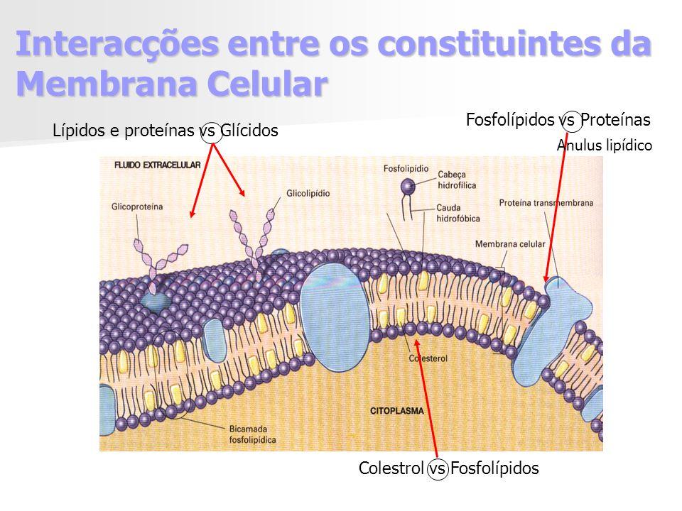 Interacções entre os constituintes da Membrana Celular Lípidos e proteínas vs Glícidos Colestrol vs Fosfolípidos Fosfolípidos vs Proteínas Anulus lipídico
