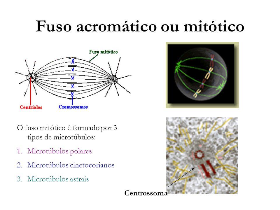 Fuso acromático ou mitótico Centrossoma O fuso mitótico é formado por 3 tipos de microtúbulos: 1.Microtúbulos polares 2.Microtúbulos cinetocorianos 3.