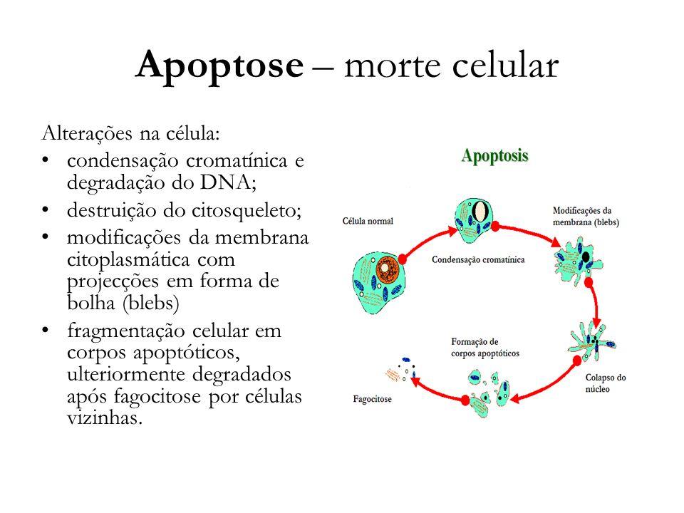 Apoptose – morte celular Alterações na célula: condensação cromatínica e degradação do DNA; destruição do citosqueleto; modificações da membrana citop