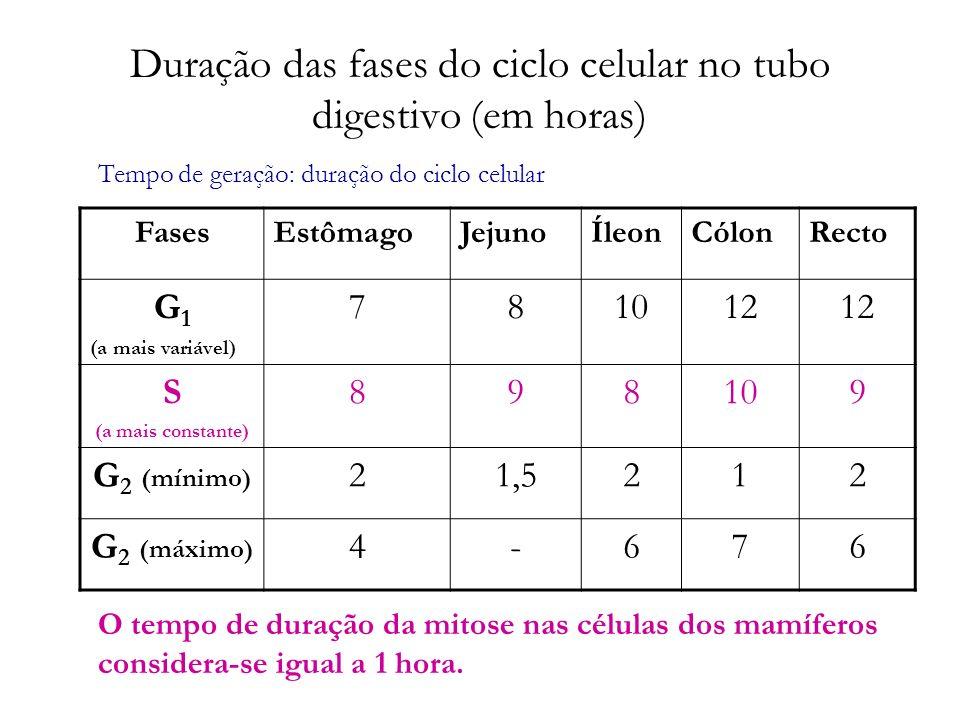 Duração das fases do ciclo celular no tubo digestivo (em horas) FasesEstômagoJejunoÍleonCólonRecto G 1 (a mais variável) 781012 S (a mais constante) 8