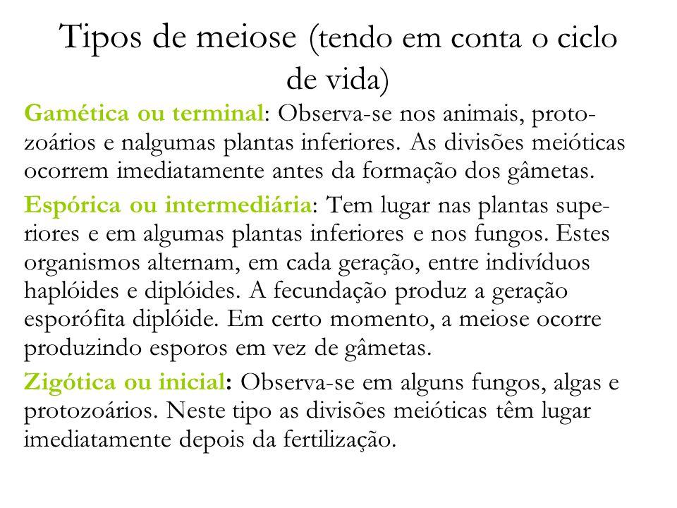 Tipos de meiose ( tendo em conta o ciclo de vida) Gamética ou terminal: Observa-se nos animais, proto- zoários e nalgumas plantas inferiores. As divis