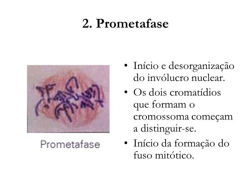 2. Prometafase Início e desorganização do invólucro nuclear. Os dois cromatídios que formam o cromossoma começam a distinguir-se. Início da formação d