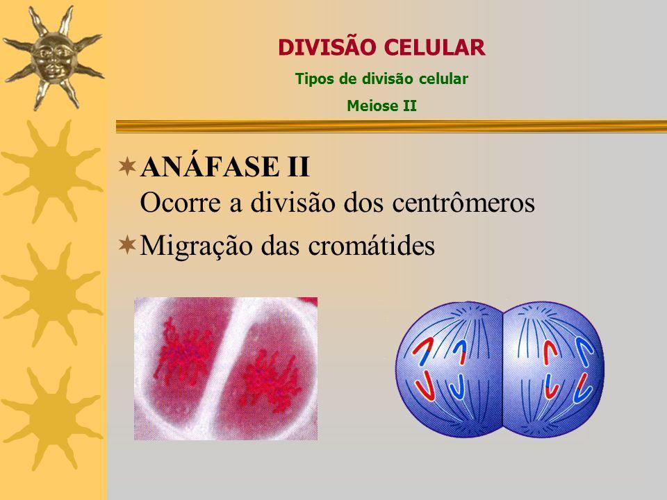 METÁFASE II Os cromossomos se posicionam na zona central da célula; Há formação da placa equatorial simples DIVISÃO CELULAR Tipos de divisão celular M