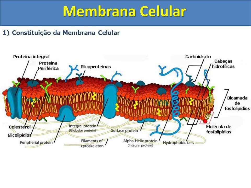 Membrana Celular 2) Propriedades da membrana celular a)Permeabilidade seletiva: Capacidade que a membrana possui de selecionar as substâncias que entram e que saem da célula.