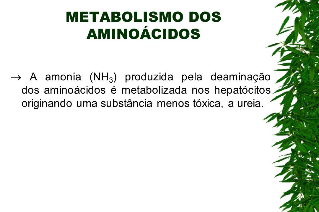 METABOLISMO DOS AMINOÁCIDOS A amonia (NH 3 ) produzida pela deaminação dos aminoácidos é metabolizada nos hepatócitos originando uma substância menos tóxica, a ureia.