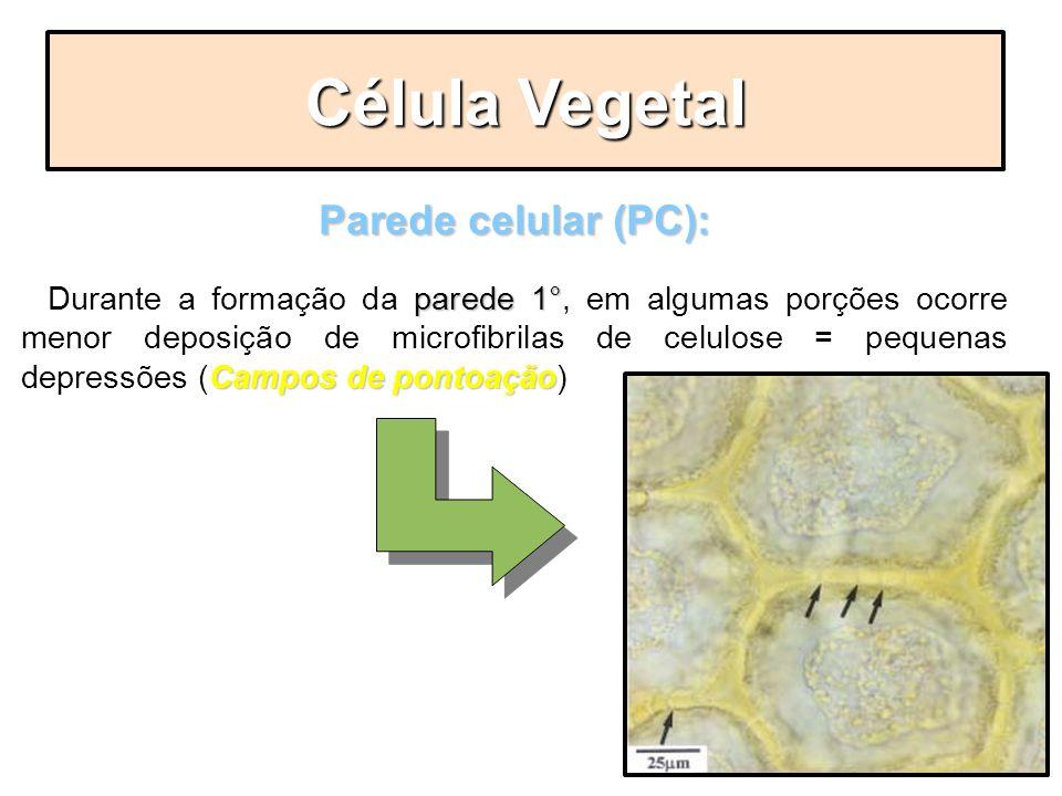 Parede celular (PC): parede 1° Campos de pontoação - Durante a formação da parede 1°, em algumas porções ocorre menor deposição de microfibrilas de ce