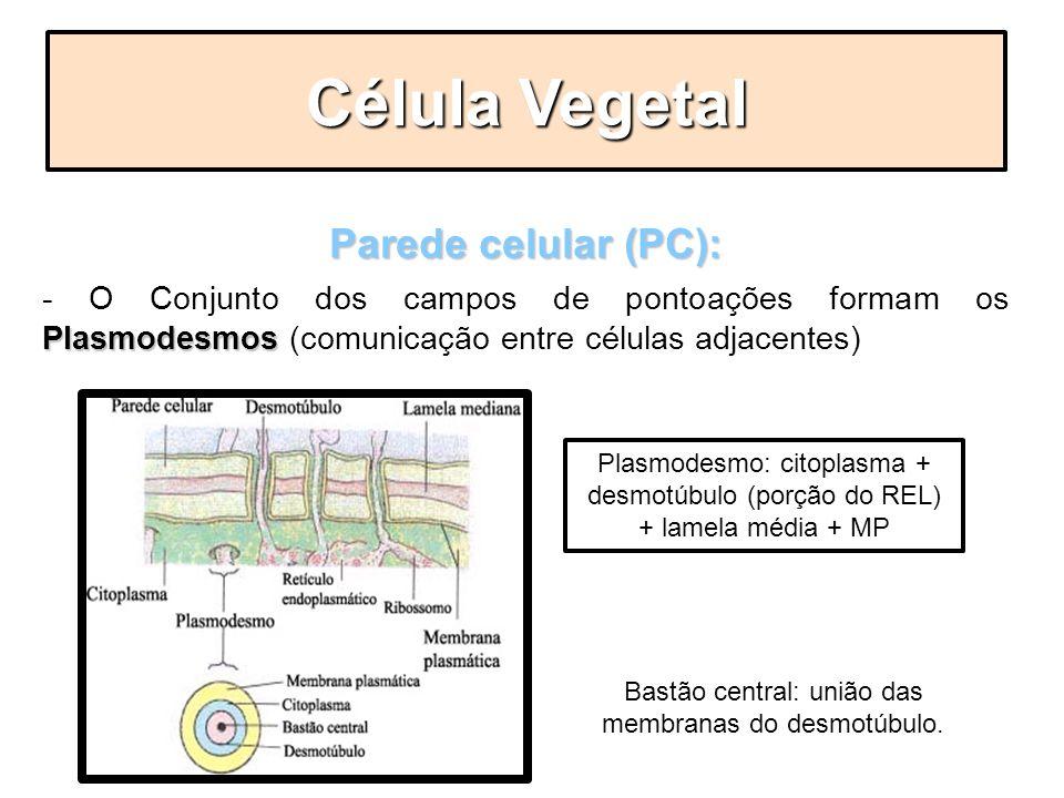 Parede celular (PC): Plasmodesmos - O Conjunto dos campos de pontoações formam os Plasmodesmos (comunicação entre células adjacentes) Célula Vegetal P