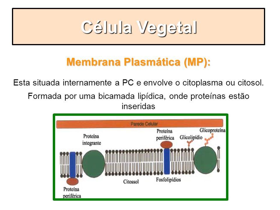 Membrana Plasmática (MP): Esta situada internamente a PC e envolve o citoplasma ou citosol. Formada por uma bicamada lipídica, onde proteínas estão in